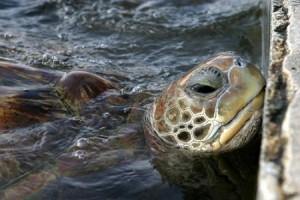 2-especie-de-tortuga-de-las-islas-caiman-tomada-de-flickr-por-fotografo08
