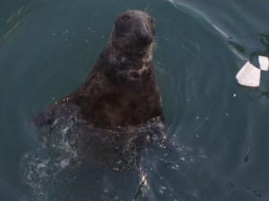 Seal-in-the-port-de-Howth-Ireland