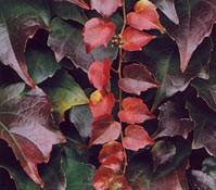 Plantas-trepadoras-1-ampelopsis